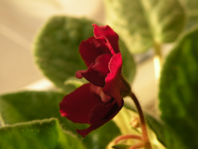 Macro effects on the development of African violets
