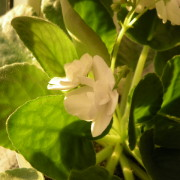 Effects of microelements on the development of African violets