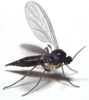 sciaridae insecta-adult