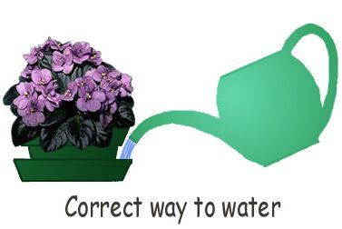 correct watering African violets